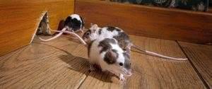 overlast van muizen